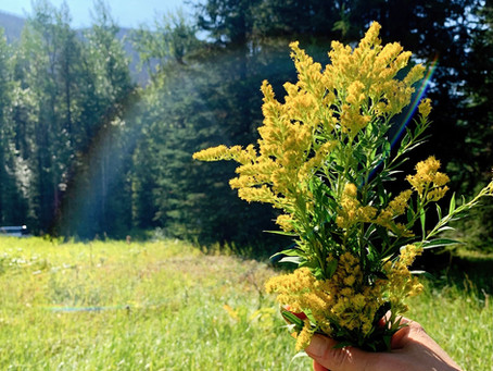 learn about goldenrod and all it's wonderful benefits