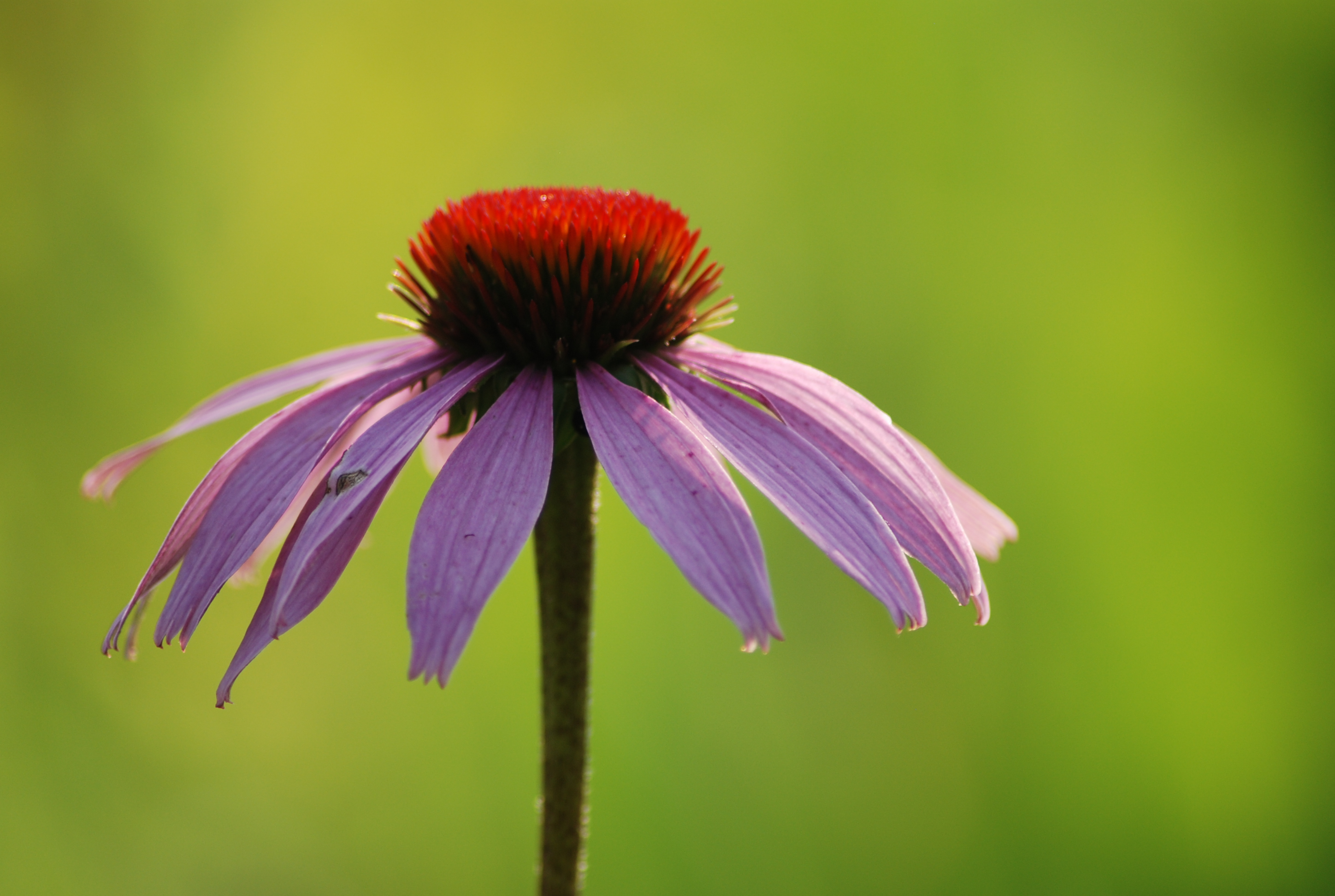 Echinacea bathed in sunlight