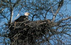 Bald eagle photo by Jack Bartholmai