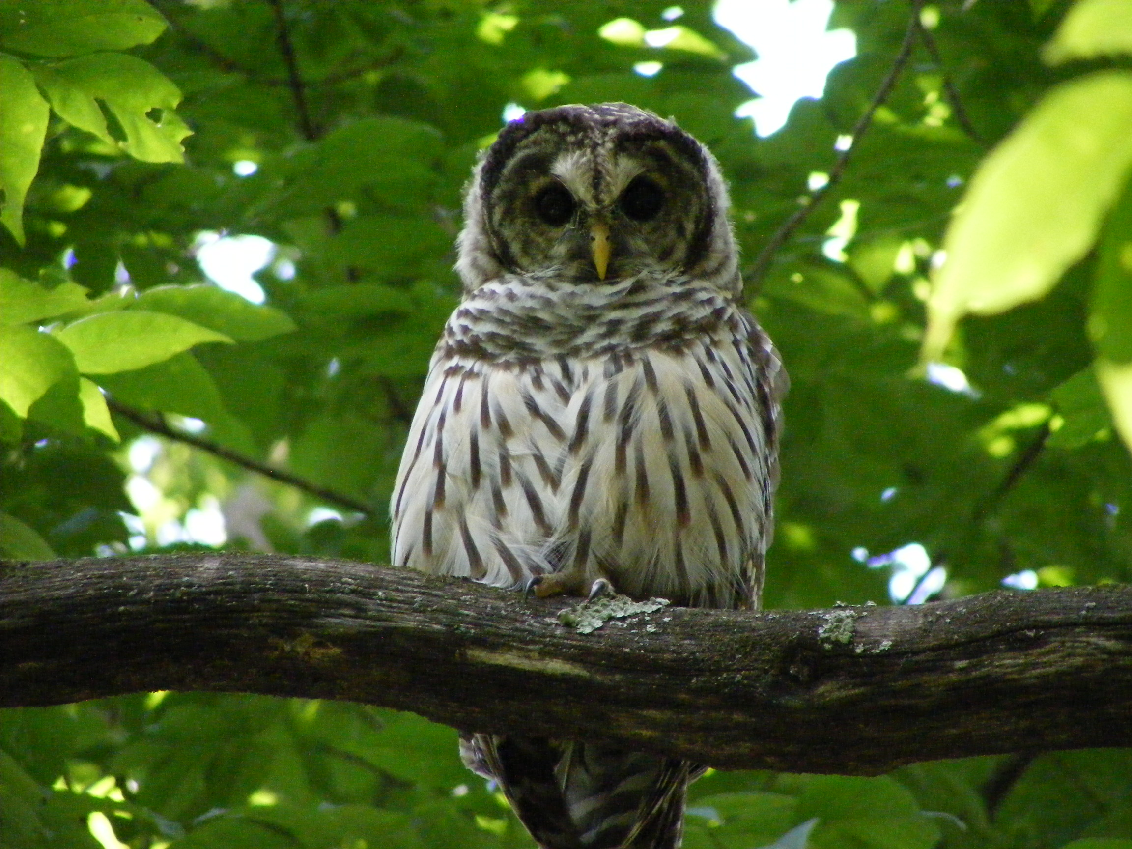 Barred owl photo by Harman Conrad