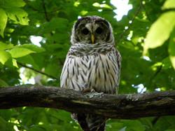 Barred owl photo by Harman Conrad