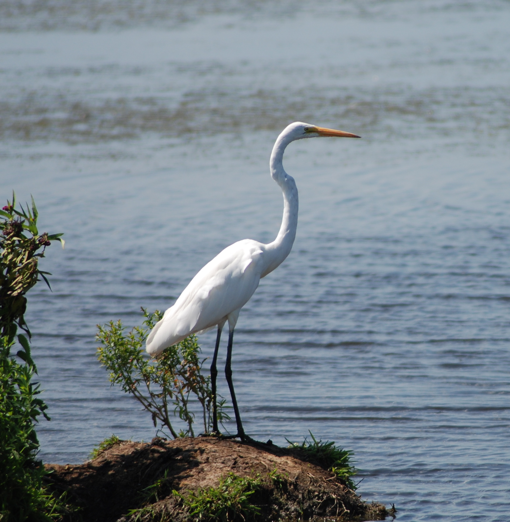 Great Snowy Egret
