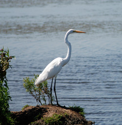 Great Snowy Egret