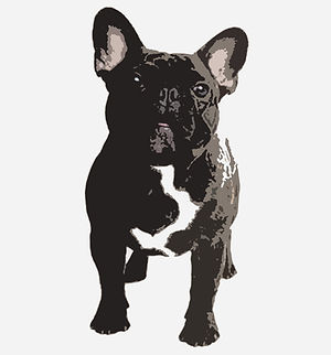 Mile High French Bulldogs, French Bulldog puppies, Colorado
