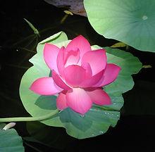 lotus cropped.jpg