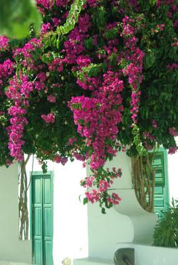 Bouganvilia - Lanzarote