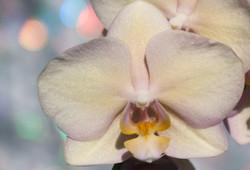Portrait of an Orchid