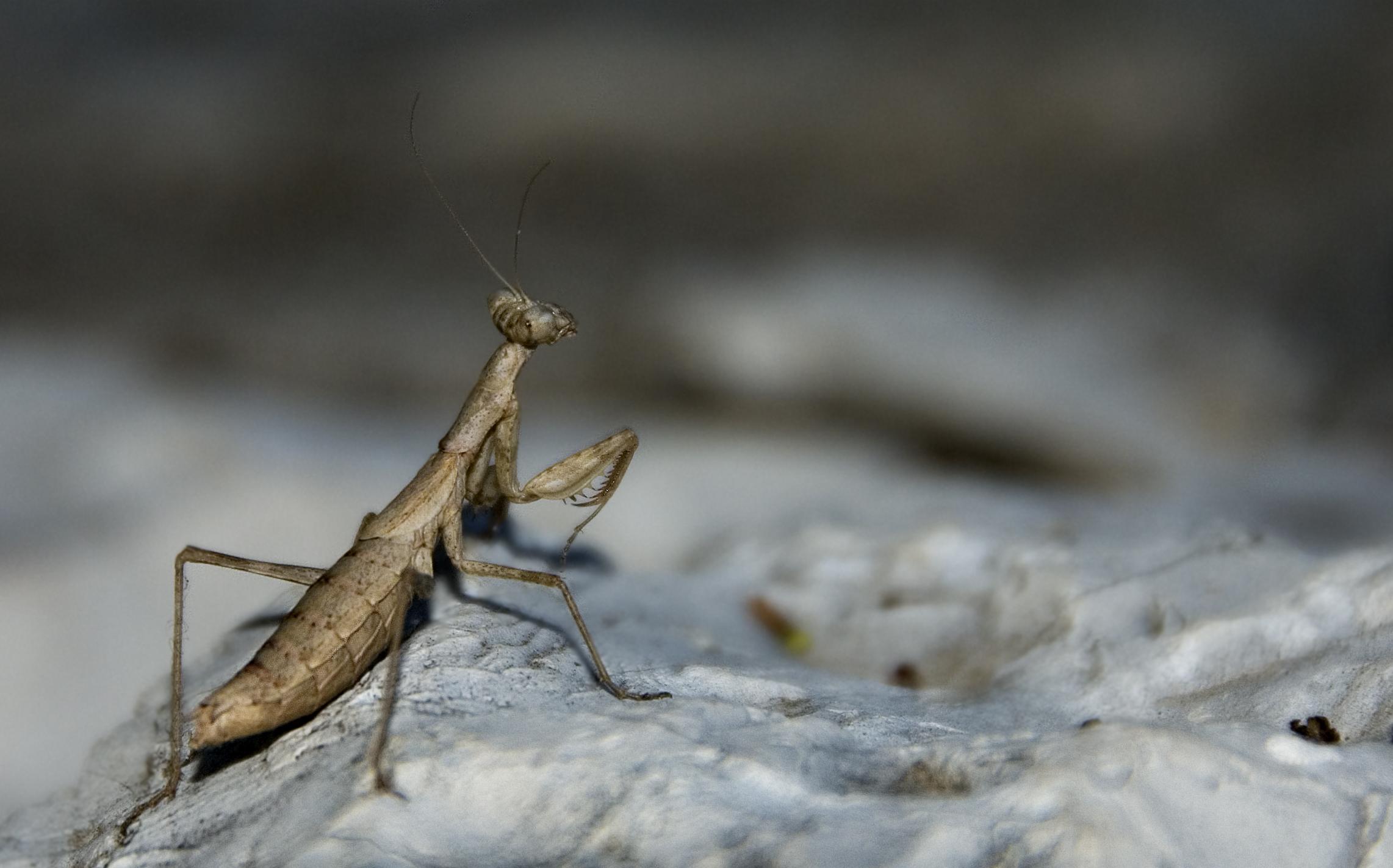 Mantis - Kefallonia