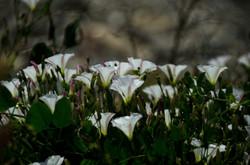 Nessebar, Bulgaria - flowers