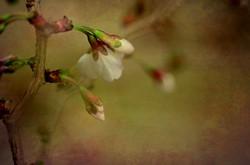 Cherry Blossom Fine Art
