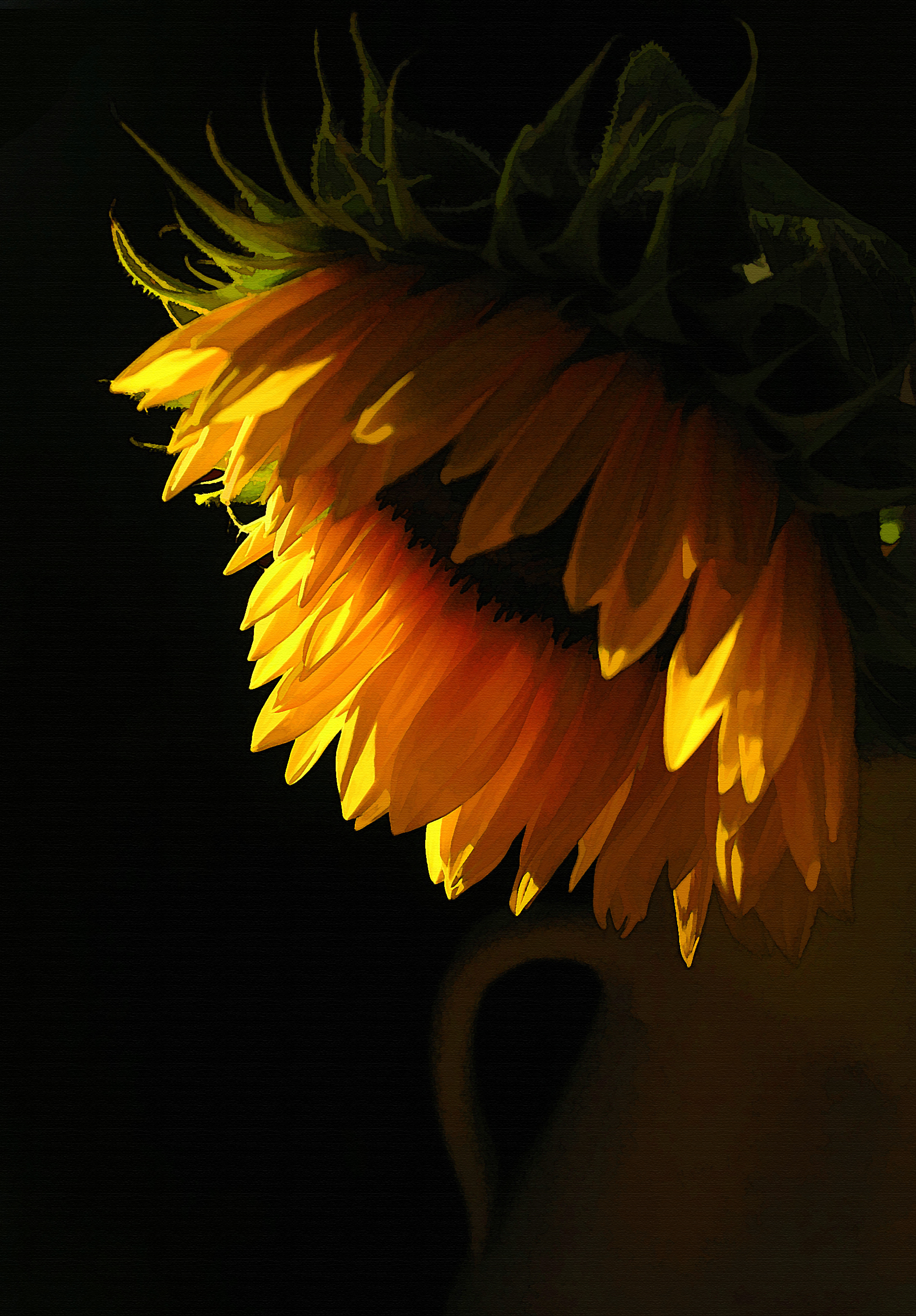 Evening Sunflower