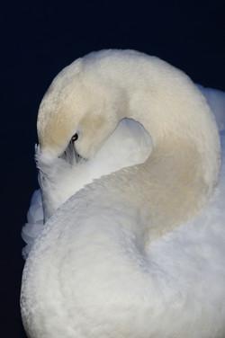 Sleeping Swan 1