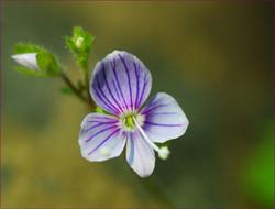 Tiny Violet