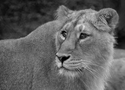 Lioness - Chester Zoo