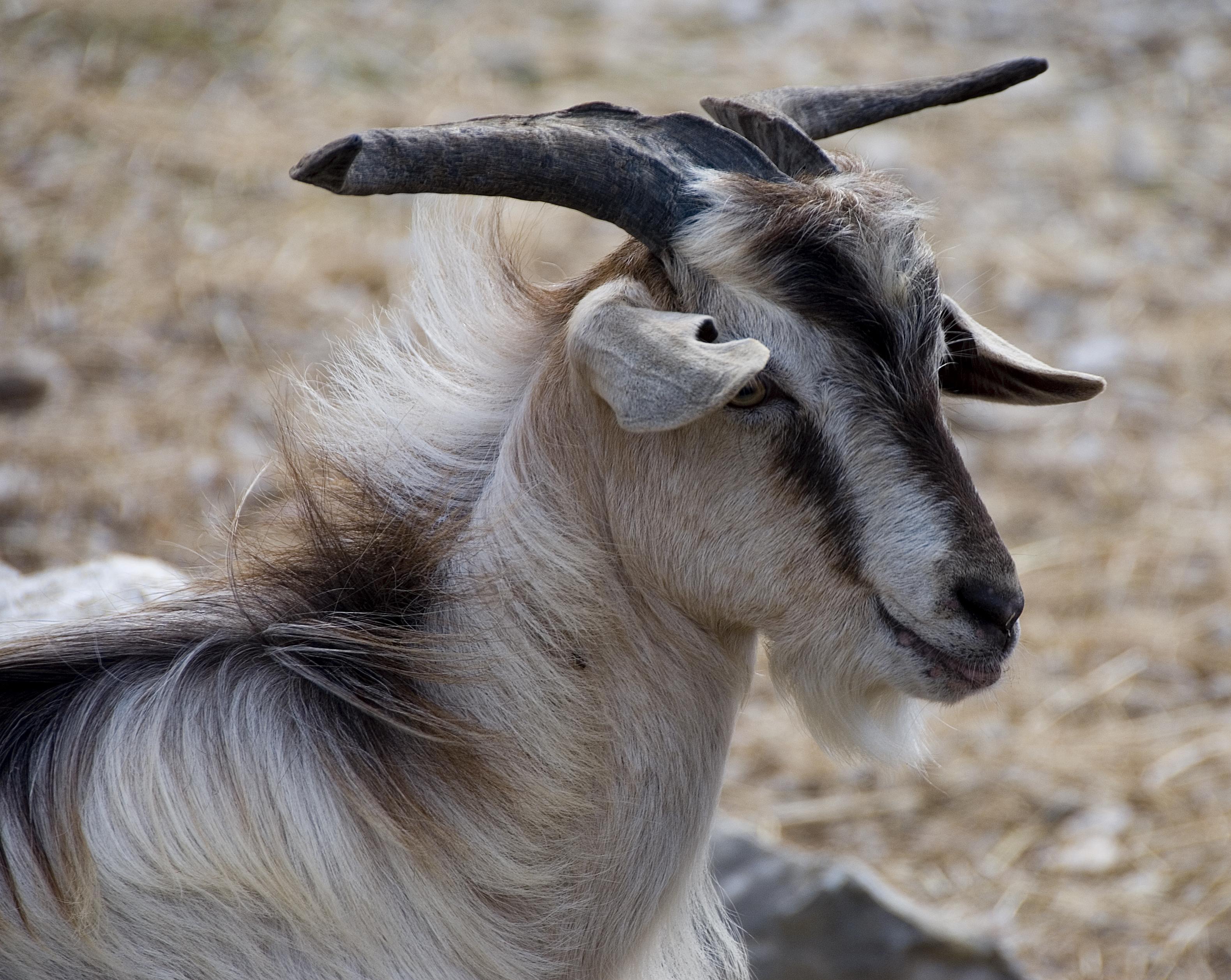 Goat - Kefallonia