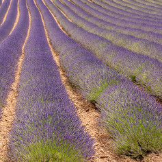 Lavendel, Provence