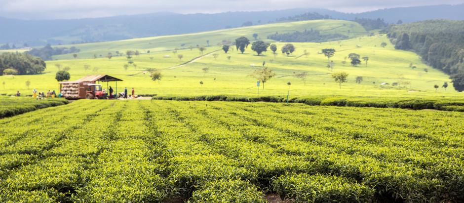 Why is So Much Tea Grown in Kenya?