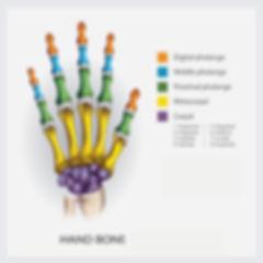 Vettoriale ossa mano 2560x2560.jpg