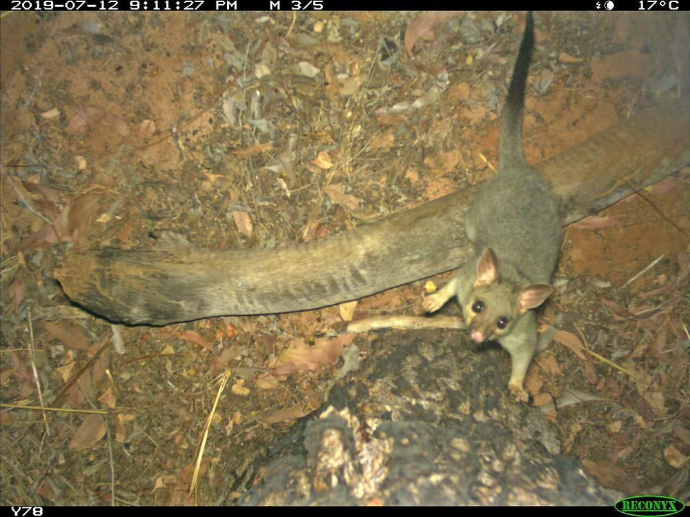 © AWC - A Brushtail Possum is caught on a remote camera trap in the Kimberley.