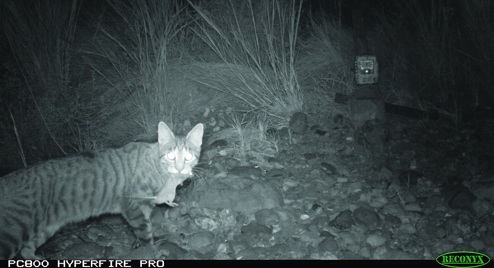 ©AWC - A camera trap captures a feral cat that has killed.