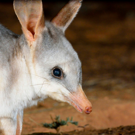 Historic $3+ million investment plan for Bilbies, Night Parrots at Diamantina and Astrebla Downs