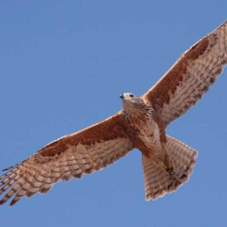 Tracking Australia's rarest bird of prey
