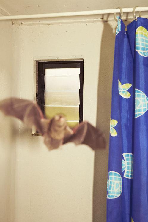 Bentwing Bat