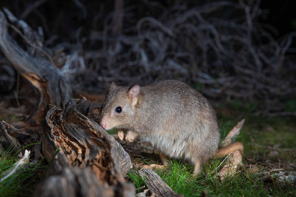 © Brad Leue/AWC - Populations of Numbats, Brush-tailed Bettongs and Bilbies have declined significantly over the last 10 to 15 years, and the Burrowing Bettong is extinct on mainland Australia except in large fenced areas. All four species are secure at Yookamurra.