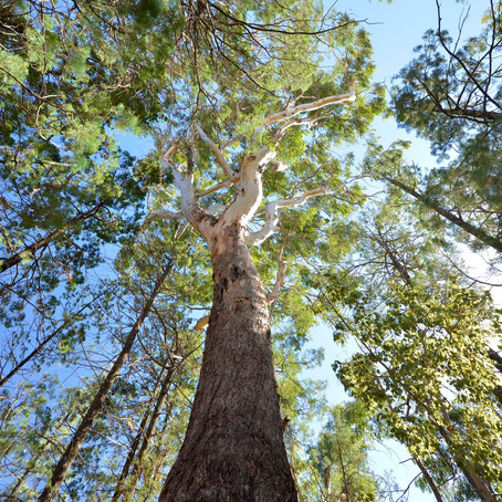 Historic partnership launched in the Pilliga forest