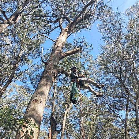 AWC helps rescued Koalas return to the bush
