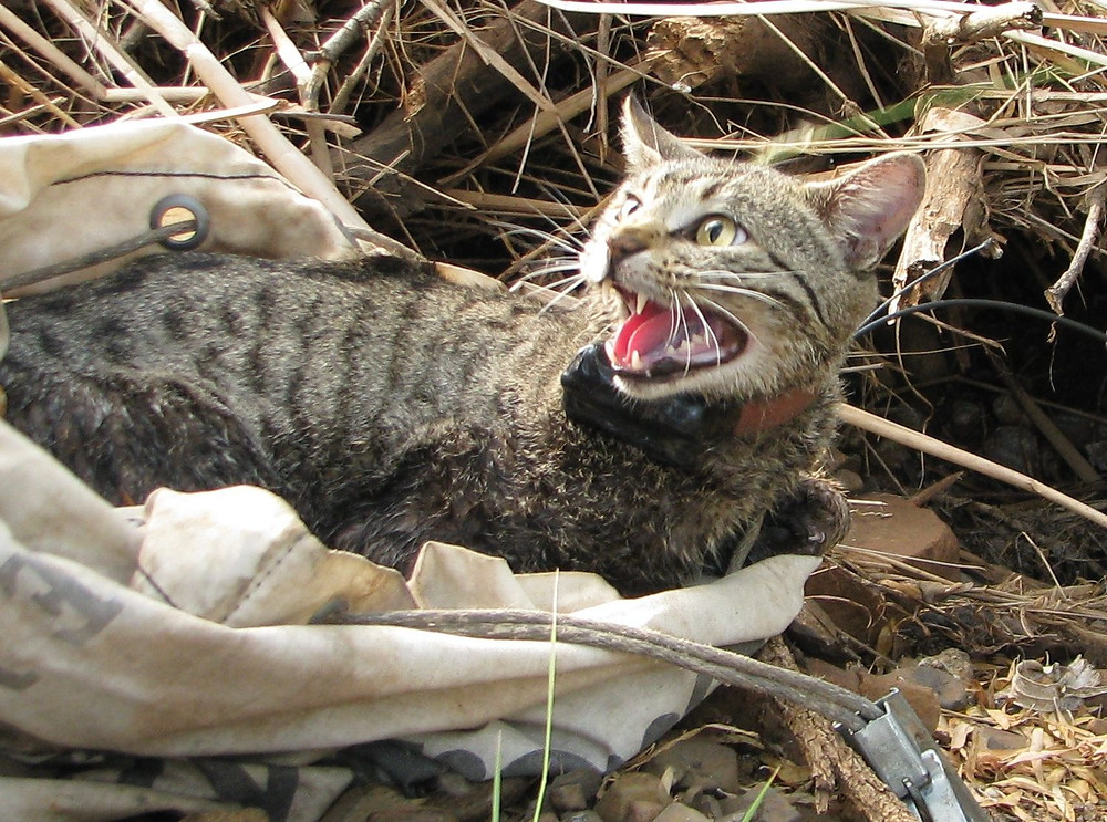 © AWC - Feral cat fitted with a GPS tracking collar.