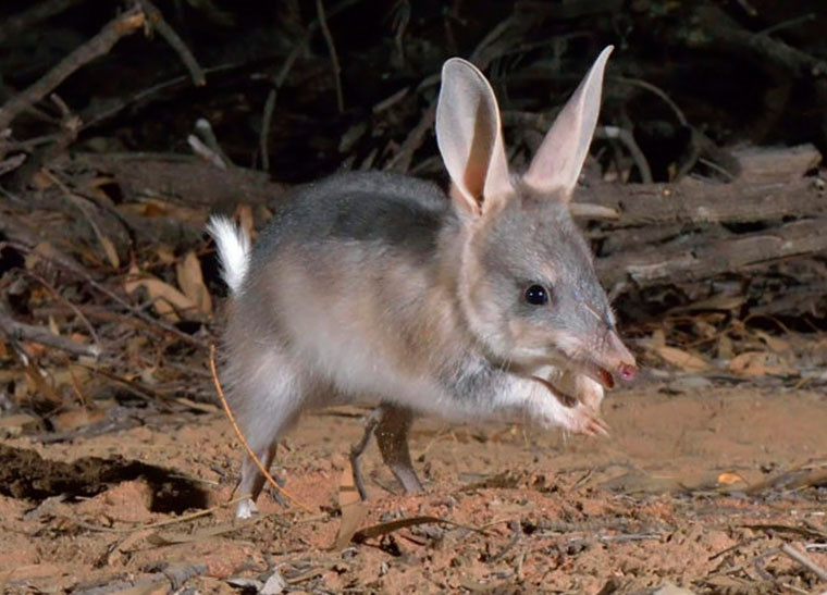 © Wayne Lawler/AWC - One of the 60 Bilbies being released in the Pilliga.