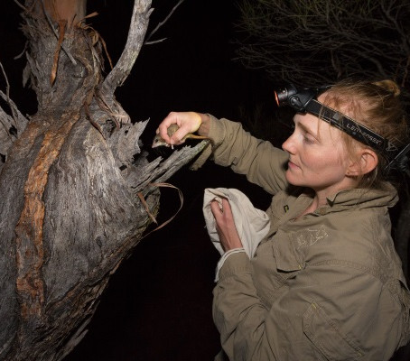 Largest ever Red-tailed Phascogale translocation