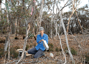 © AWC - Nicole Palmer, Senior Field Ecologist, setting traps during a translocation.