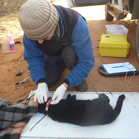 Innovative feral cat and fox research extended to two new sites