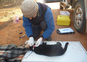 © AWC - Collaring feral cats allows Dr Andrew Carter and the AWC team to learn more about the animals' behaviours and range.