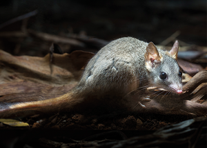 © Brad Leue/AWC - Red Tailed Phascogale.