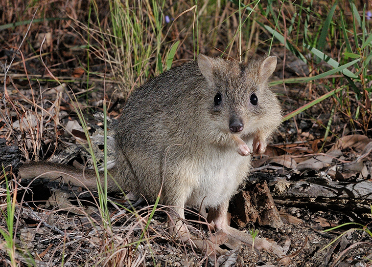 © AWC - Northern Bettong.