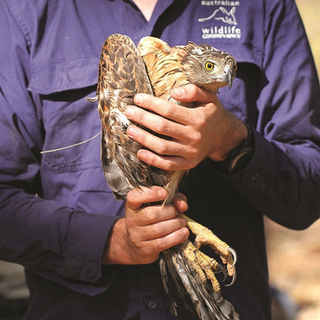 Uncovering the mystery of Australia's rarest bird of prey