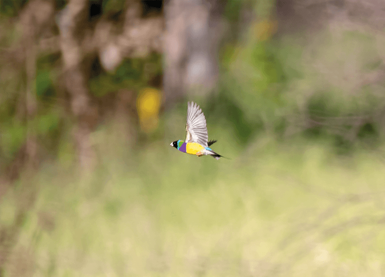 © Brad Leue/AWC - The first image of a nationally endangered Gouldian Finch captured on Bullo River Station.