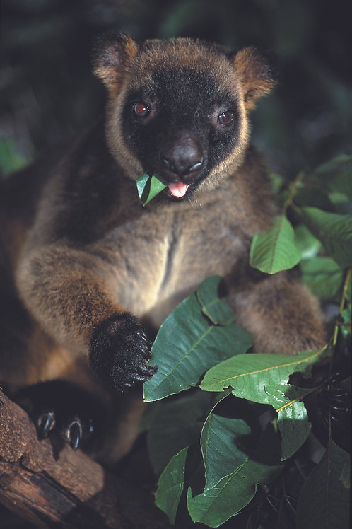 Rainforest (Tree Kangaroo)