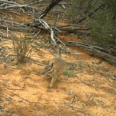 Numbat numbers on the up at Mt Gibson Wildlife Sanctuary