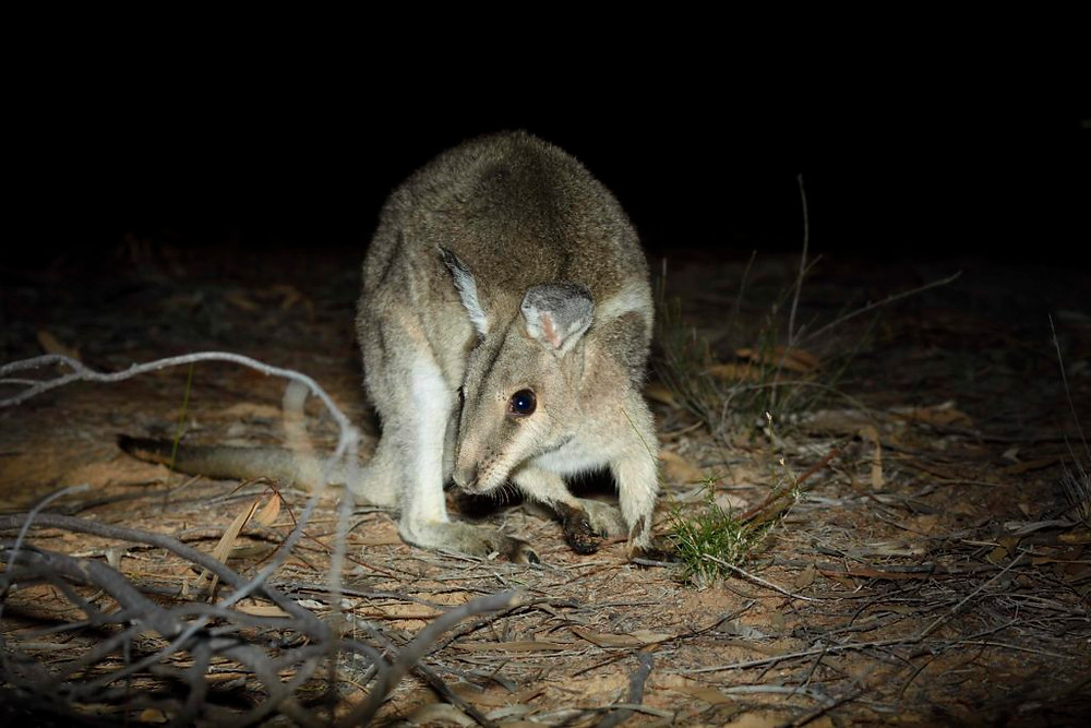 © Wayne Lawler/AWCBridled - Nailtail Wallabies are the second regionally extinct mammal to be returned to NSW national parks.