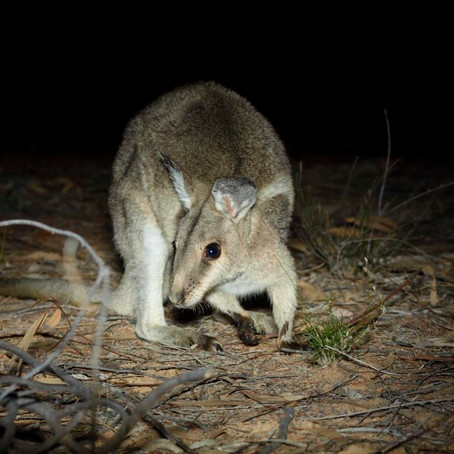 AWC returns the Bridled Nailtail Wallaby to NSW National Park