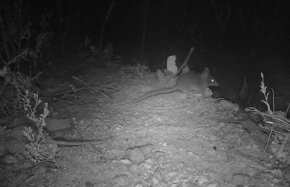 Camera traps have captured evidence of surviving KI Dunnarts on Kangaroo Island. © Kangaroo Island Land For Wildlife