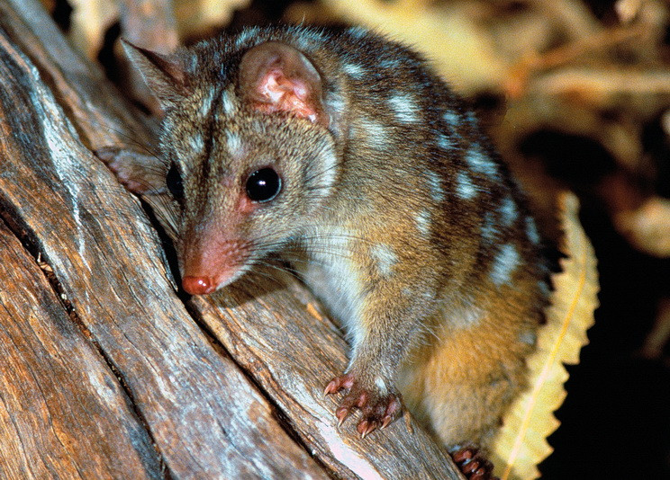 © Lochman Transparencies/AWC - AWC research could eventually facilitate the reintroduction of declining wildlife like the Western Quoll.