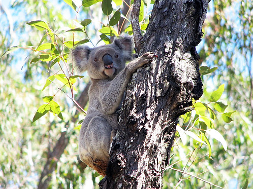 Tall Eucalypt Forest (Koala)