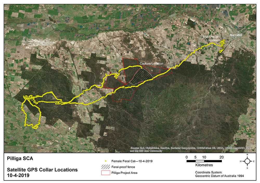 © AWC - The yellow line is made up of dots that show where a female cat travelled in the Pilliga, covering hundreds of kilometres.