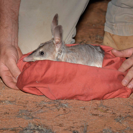 AWC brings Bilbies back to the Mallee