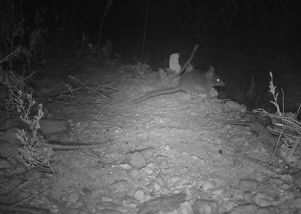 Kangaroo Island Dunnart survivors have been detected on camera traps after the fires.